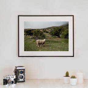 Sheep | Neuseeland