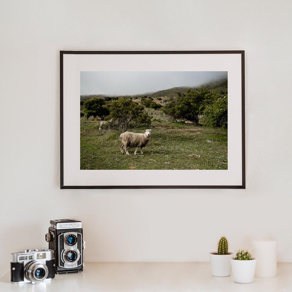 Sheep   Neuseeland