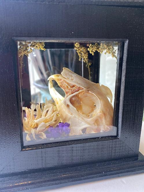 Jackrabbit skull // curio box