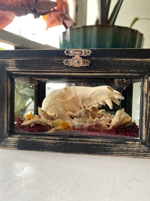 Fox skull // hinged curio box