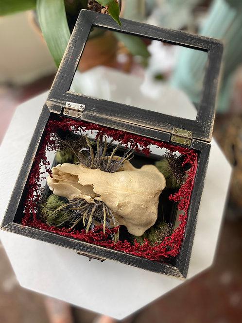 Badger skull // curio box