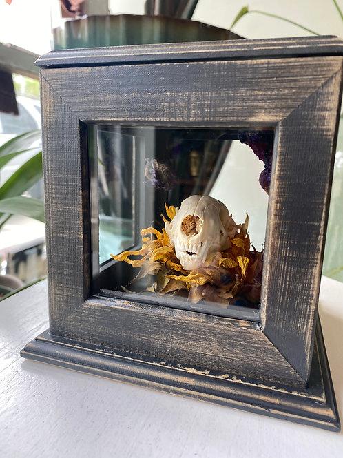 Skunk skull // curio box