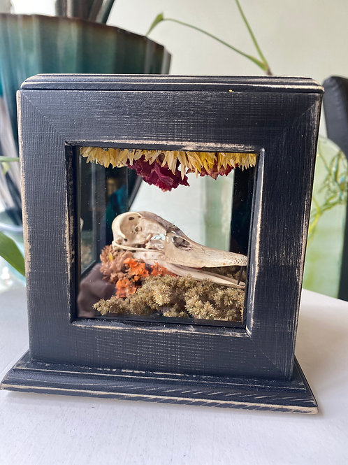 Duck skull // curio box