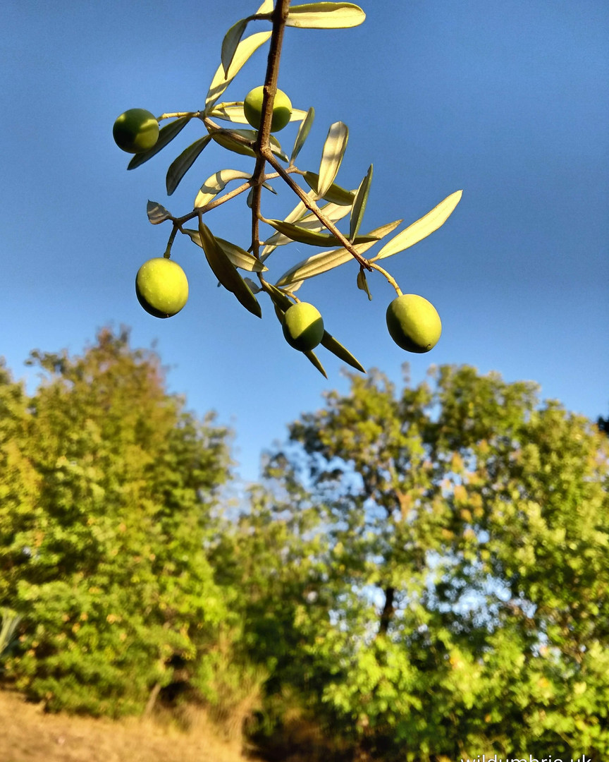 Olives in the late summer sun.