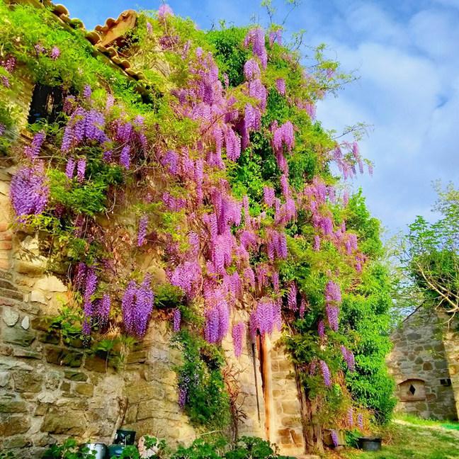 A good show of wisteria.