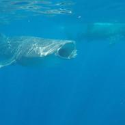 Whale shark 9