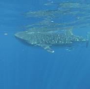 Whale shark 8