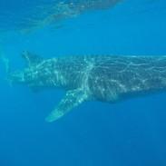 Whale shark 4