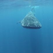 Whale shark 10