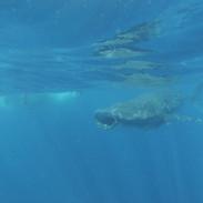 Whale shark 6