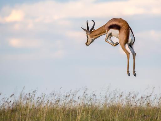 Springboks Pronking