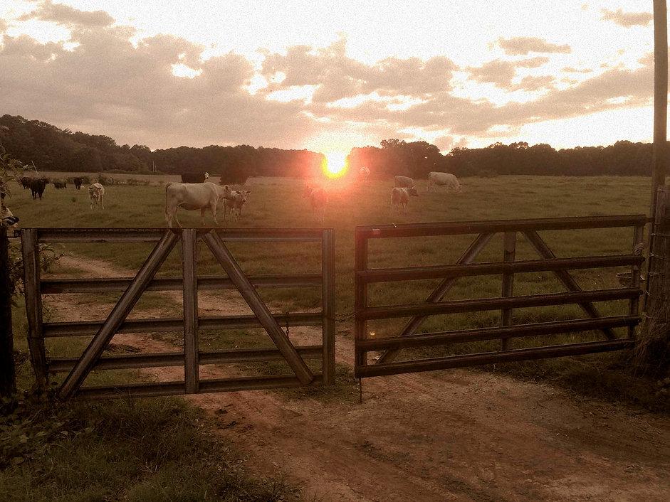 Farm raised cows