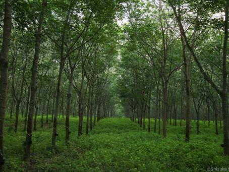 タイのゴム農園で経験したこと ②