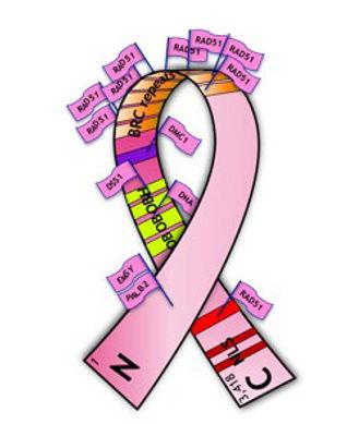 BRCA2 protein ribbon