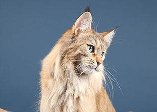 chatterie Maine Coon- Suisse