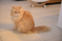 maine coon - persan suisse