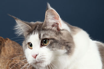 Maine Coon - Suisse