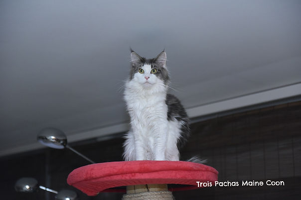 Maine Coon Vaud - Vallorbe - Lausanne