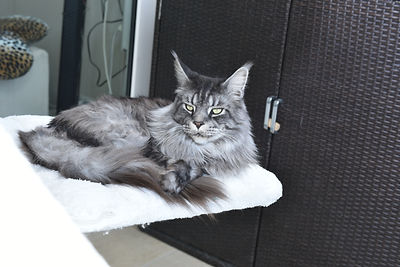 Maine Coon Vaud - Valais - Fribourg