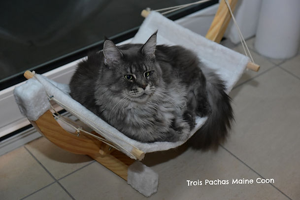 Maine Coon Suisse