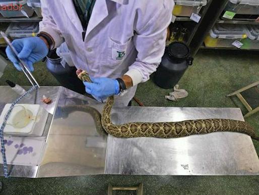 Veneno de serpiente para tratar el dolor crónico