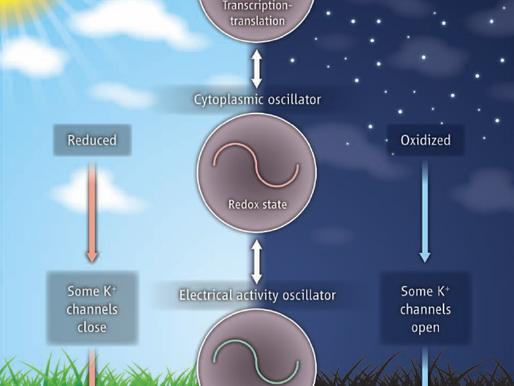 Relojes circadianos metabolismo y cancer