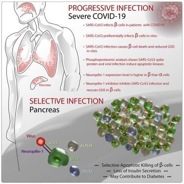 El SARS-CoV-2 provoca apoptosis de células beta