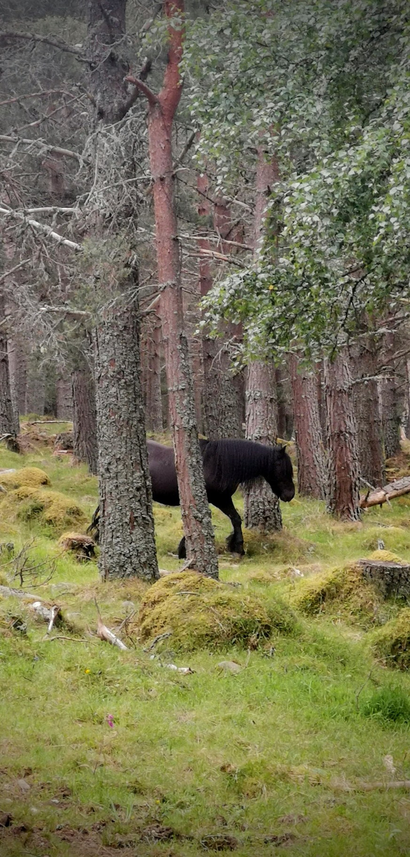 A black horse wanders through the woodland