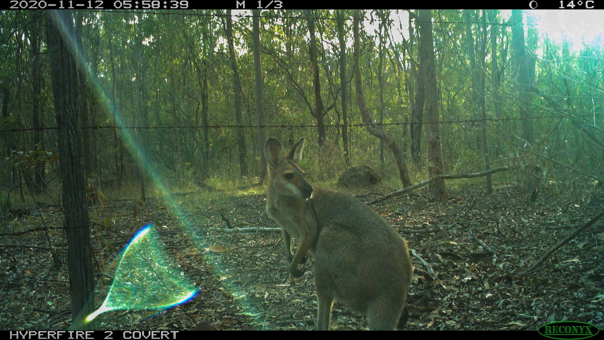 Infrared camera - red-necked wallaby