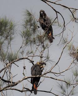 Glossy black cockatoos
