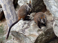 Brush-tailed rock wallaby picture 4 .jpg