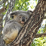 koala for the website.jpg