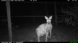 Infrared camera - whiptail wallaby