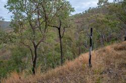 An abundance of Eucalypts