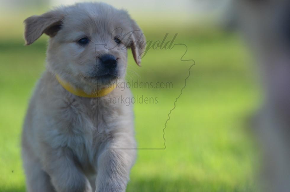 ARKGOLD Golden Retriever Puppy Running