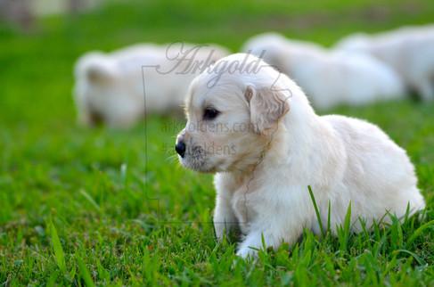 AKC Golden Retriever Puppy ARKGOLD