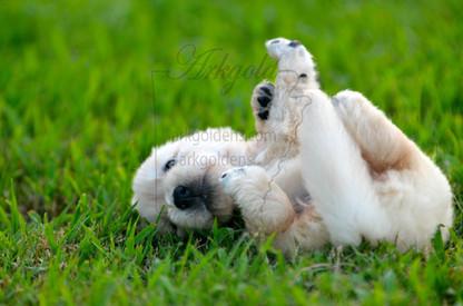 Golden Retriever Puppy Playing ARKGOLD