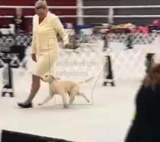 showing akc conformation purina farms golden retriever puppy movement arkgold