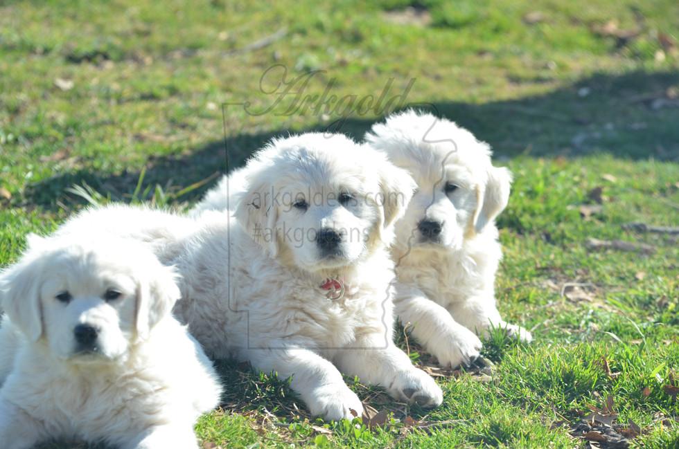 ARKGOLD Golden Retriever Puppies
