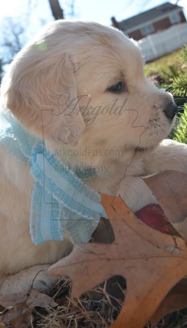 side profile golden retriever puppy arkgold