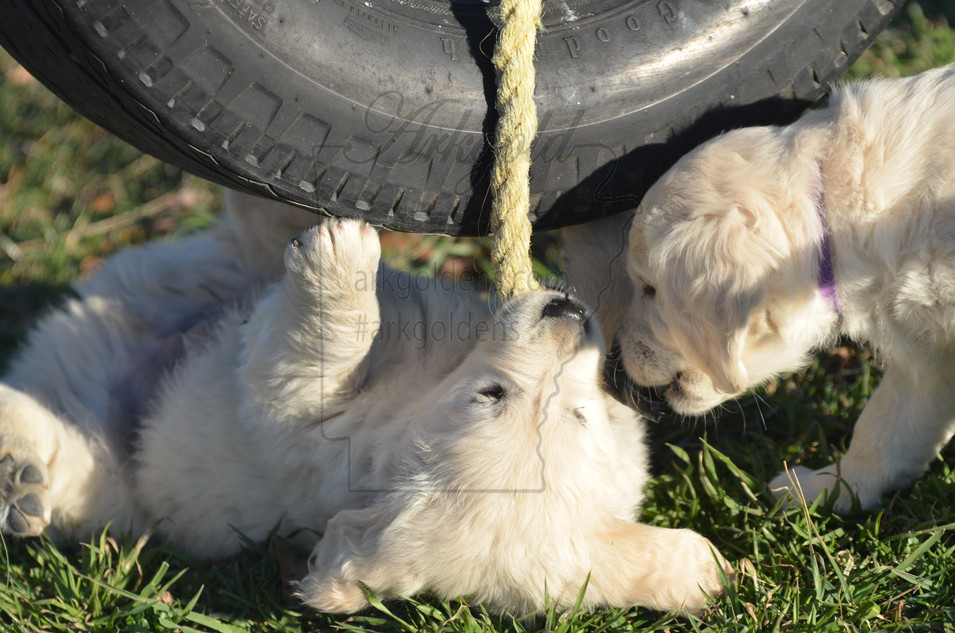 golden retriever puppies playing arkgold
