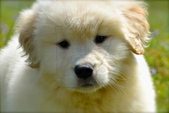 Golden Retriever Puppy ARKGOLD
