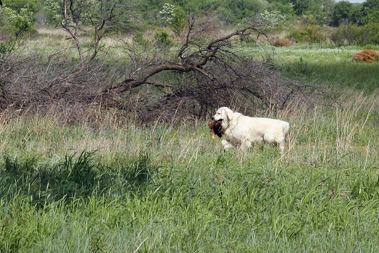 TITUS GOLDEN RETRIEVER HUNTING DOG