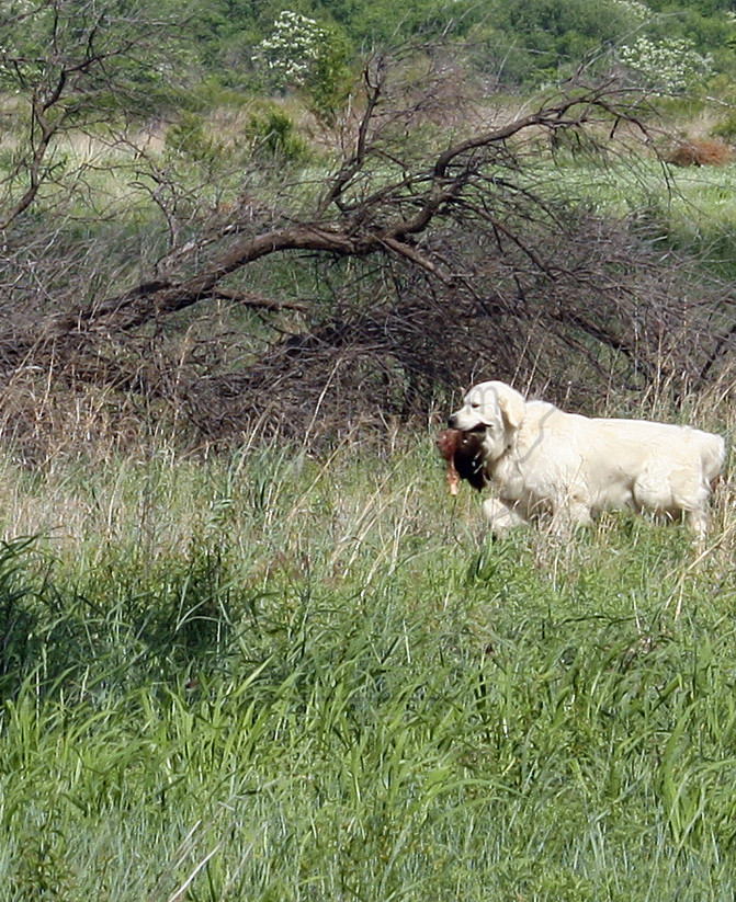 TITUS GOLDEN RETRIEVER HUNTING DOG