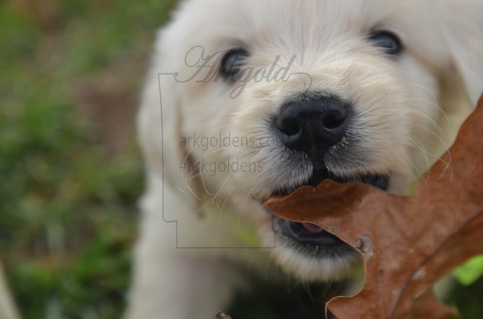 golden retriever puppy leaf arkgold