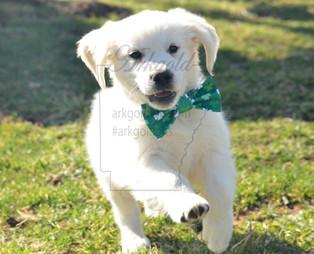 golden retriever puppy bowtie arkgold