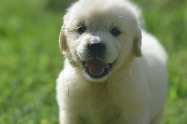 big smile golden retriever puppy arkgold