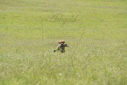 ARKGOLD Hunt Test Golden Retriever