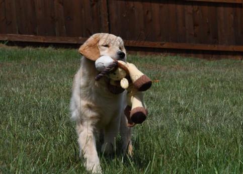 golden retriever 6 months old retrieving toys arkgold