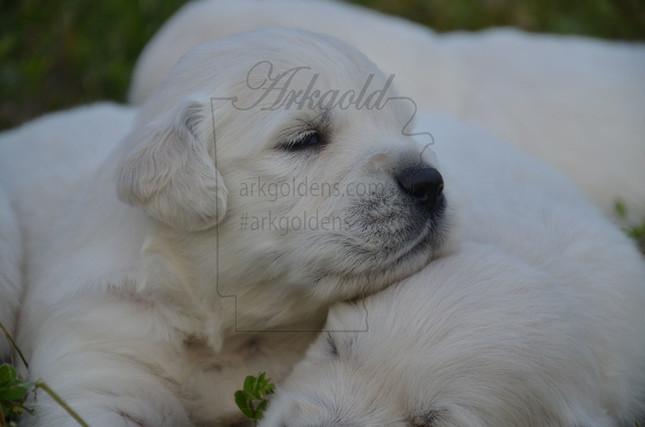 Golden Retriever Puppies ARKGOLD